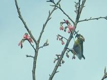 緋寒桜と冬鳥