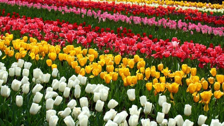 春には300品種、100万本のチューリップが見られる砺波チューリップ公園