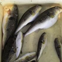 市場から直接仕入れた氷見の魚を楽しんでいただきます。