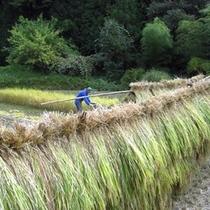 小境の里山からわき出す美しい水をそのまま利用した水田で作られたお米