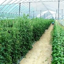 ニセコグリーンファームでは、約50種類のオーガニック野菜を作っています。
