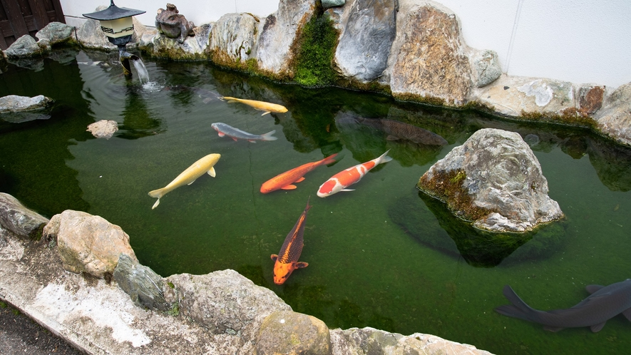 *【鯉】玄関近くで鯉をご覧いただけます。