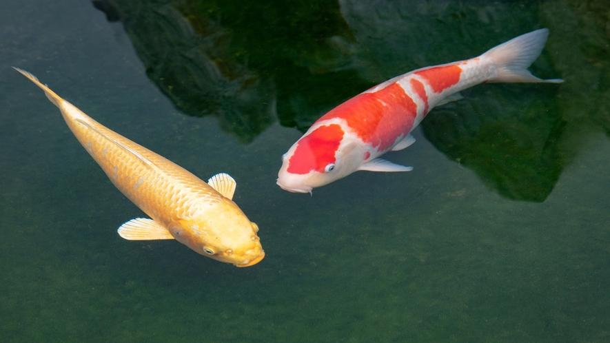 *【鯉】鯉も一緒にお出迎え♪