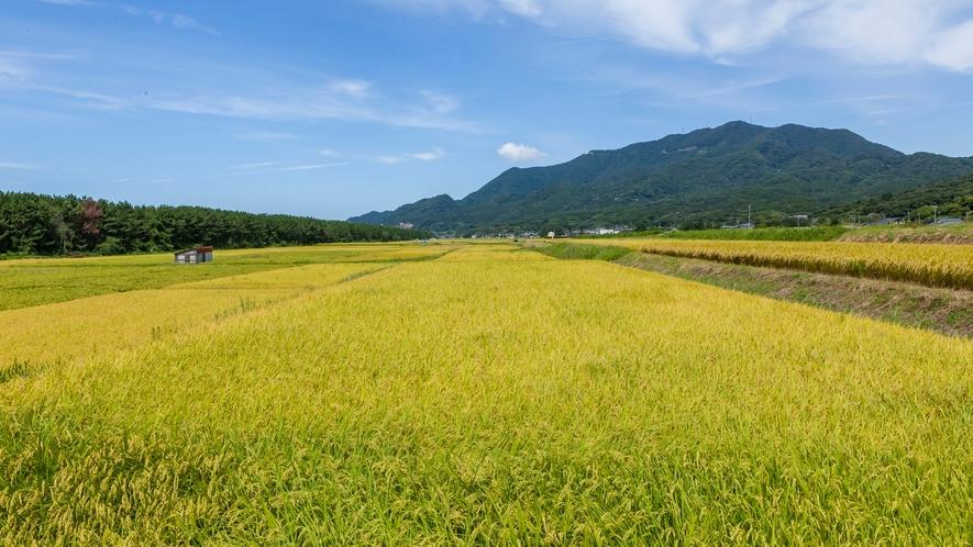 黄金色の田んぼと弥彦山