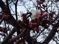 桜咲く2月19日