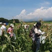 粕川室沢地区 とうもろこし収穫体験