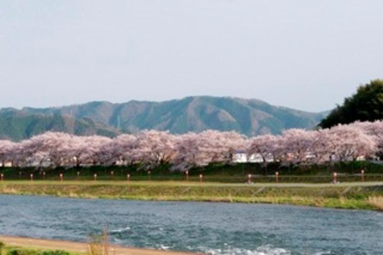 【桜のトンネル】当館の目の前に流れる旭川の対岸で見られます。