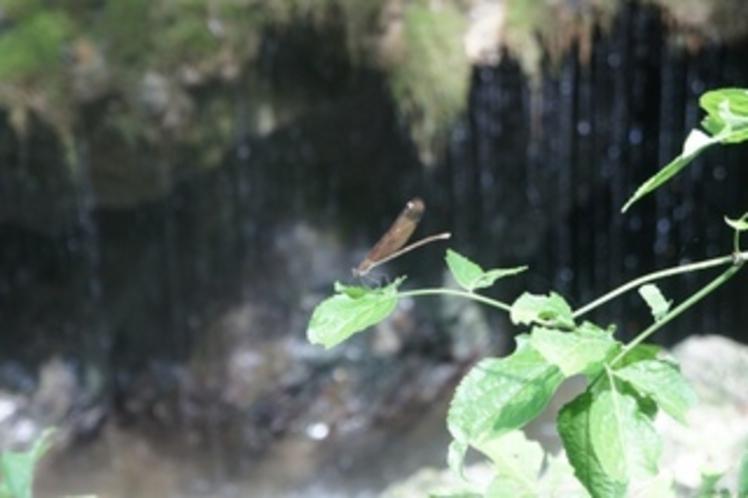 【神庭の滝】玉垂れの滝をバックにとんぼも一休み♪