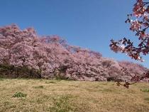 公園入り口の桜