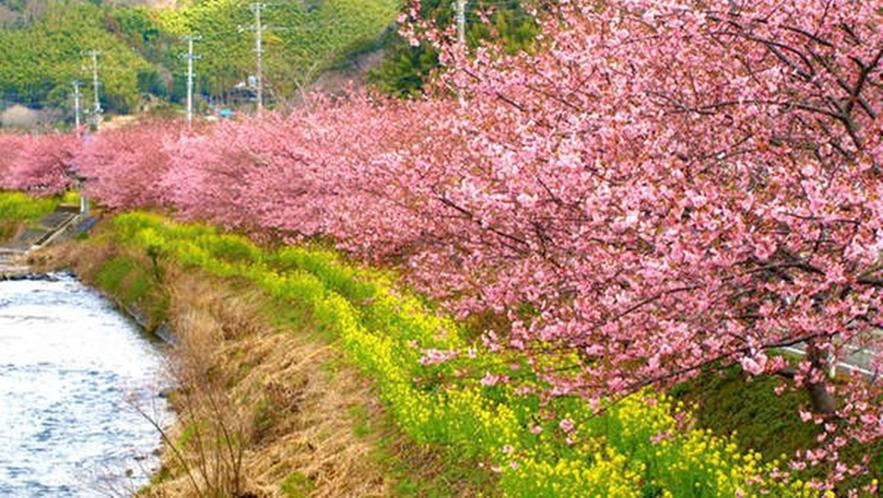 *2月はやっぱり河津桜!
