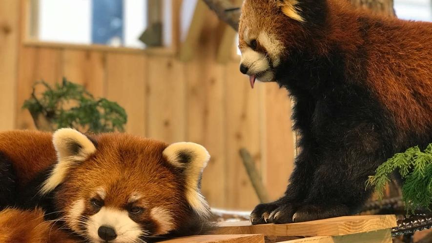 *【伊豆シャボテン動物公園】レッサーパンダの「こなつとよもぎ」です!