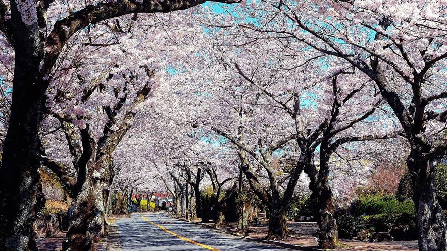 *伊豆高原の桜並木。