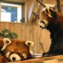 【伊豆シャボテン動物公園】レッサーパンダの「こなつとよもぎ」です!