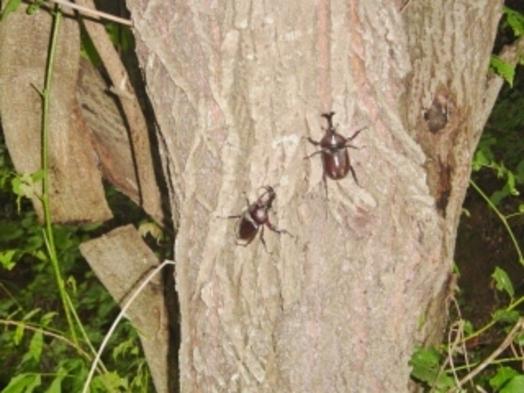 期間限定 カブト虫、クワガタ等の昆虫採集の体験プラン