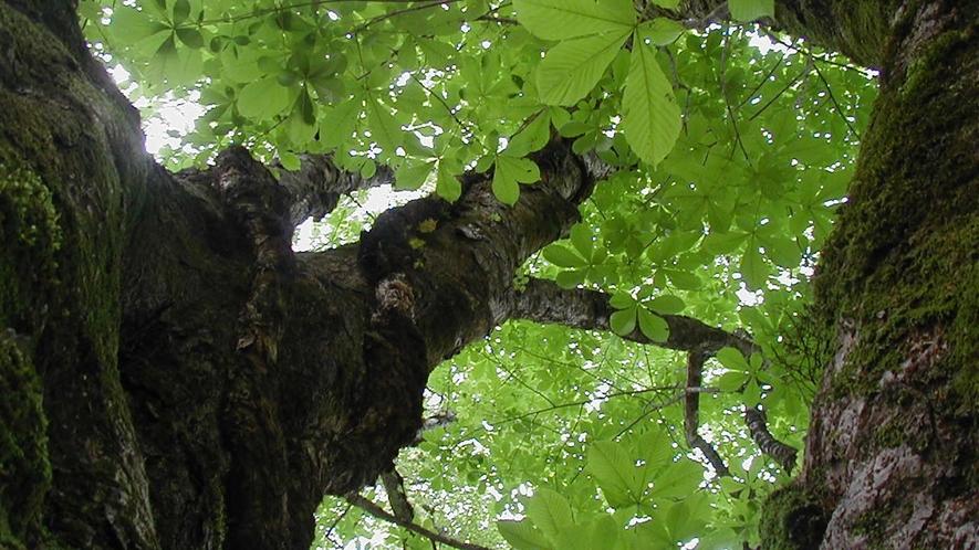 *芦生の森ブナの新緑