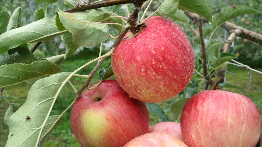 *リンゴ園