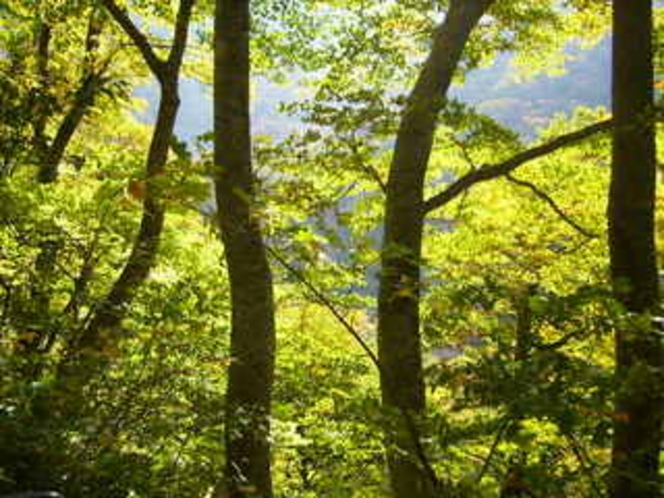 秋のぶな林
