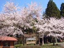 案内所の桜