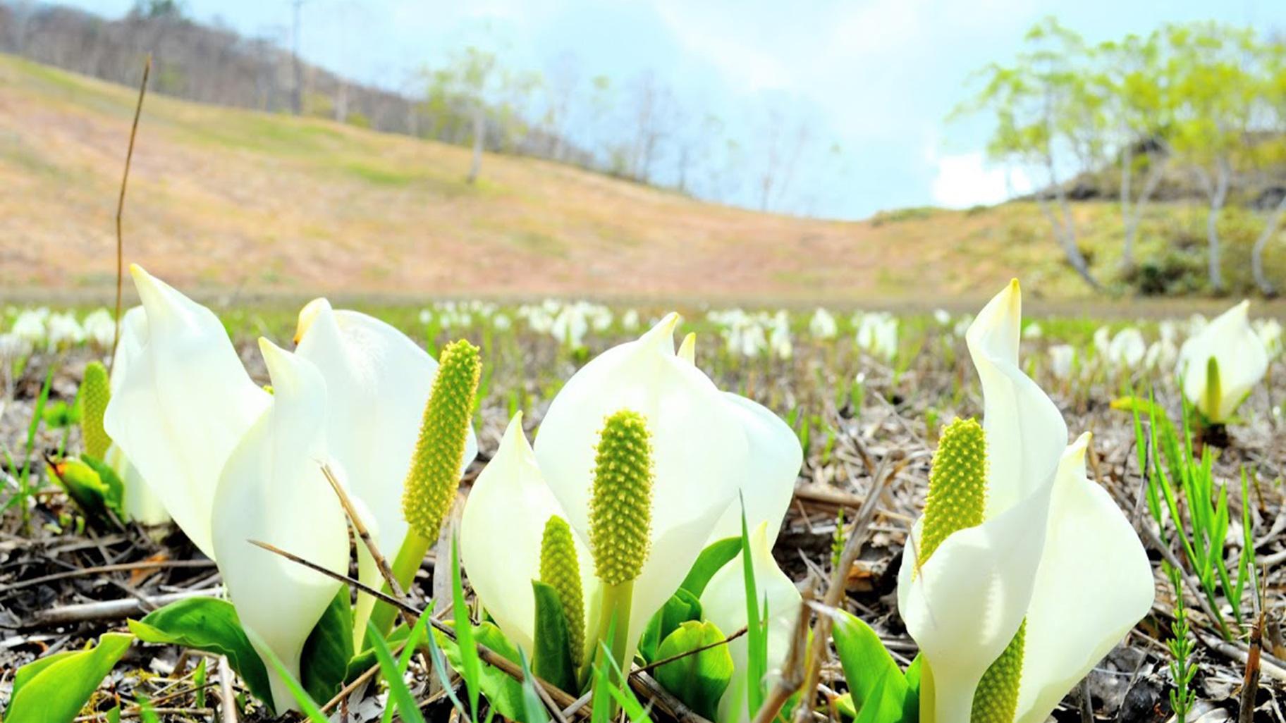 志賀高原の水芭蕉