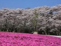 赤城南面千本桜とみやぎ千本桜の森の芝桜