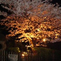 *【お庭】夜には桜をライトアップ。夜桜としてもお楽しみ頂けます。