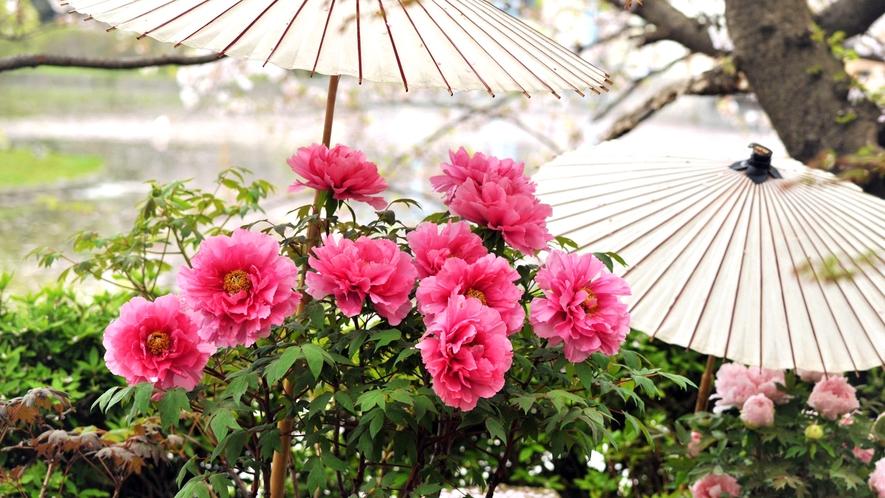 *【鶴岡八幡宮】冬/神苑ぼたん庭園(車で15分・徒歩40分)※写真提供:鎌倉市観光協会