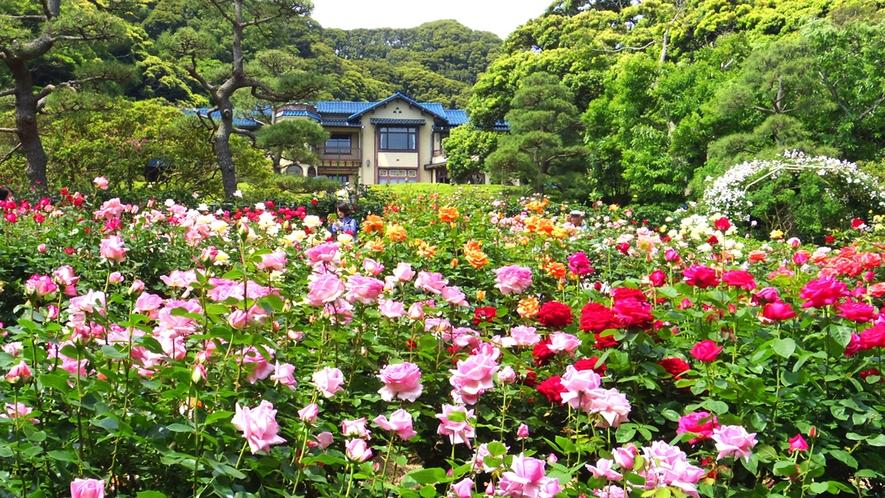 *【鎌倉文学館】初夏/バラ園(車で1分・徒歩7分)