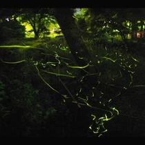 【ほたる観賞】修善寺の夜に灯る幻想的なほらるの舞をごらんください。