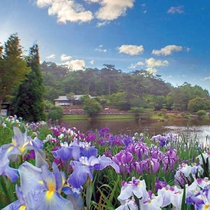【虹の郷】300種7000株の花しょうぶが紫色・桃色・白と美しく咲き誇ります(例年見ごろ:6月)