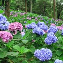 【虹の郷】初夏を彩るあじさいは、丘一面を覆うように一面に♪(見ごろ:6月中旬~7月中旬)