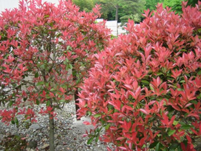 敷地内の季節のお花/つつじ
