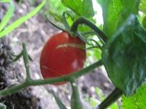食材のこだわり/自家菜園の無農薬野菜