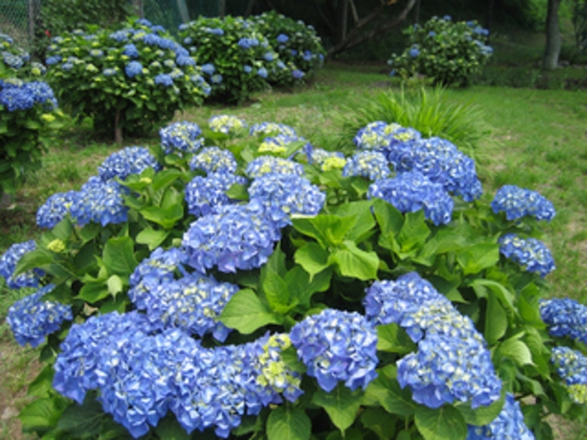 敷地内の季節のお花/あじさい