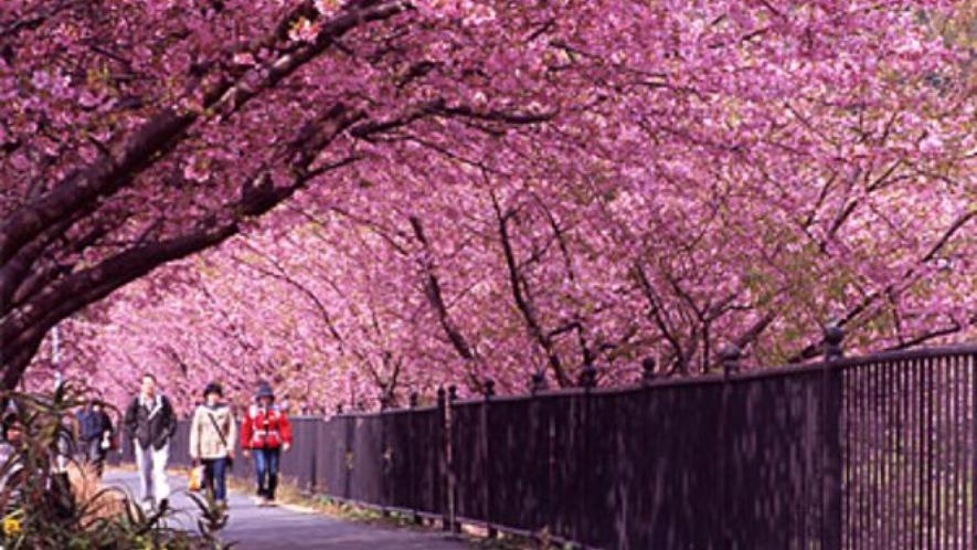 河津桜さくらのトンネル