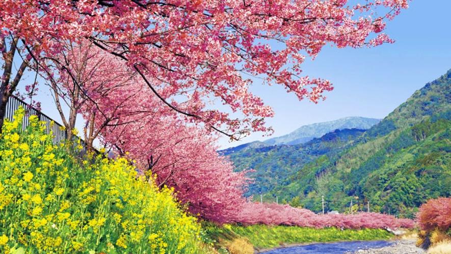 早咲きで有名な河津桜