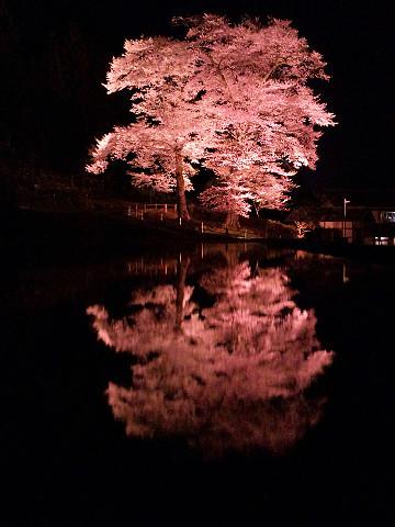 苗代桜ピンク