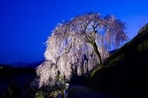 四美のしだれ桜