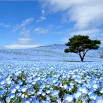 *[国営ひたち海浜公園]当館より車で約5分/春はネモフィラのお花畑が有名です。