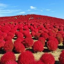 *[国営ひたち海浜公園]当館より車で約5分/秋は真っ赤に紅葉するかわいいコキアが有名。
