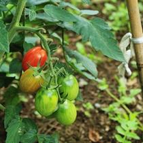 十勝オーベルジュでは、農園で野菜を収穫し、その場で召上れます