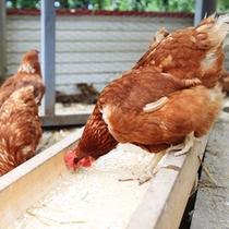ニワトリ小屋では産みたて卵をとることもできます。