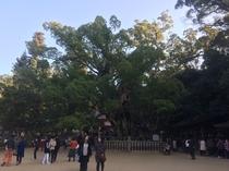 大山祇神社の大楠