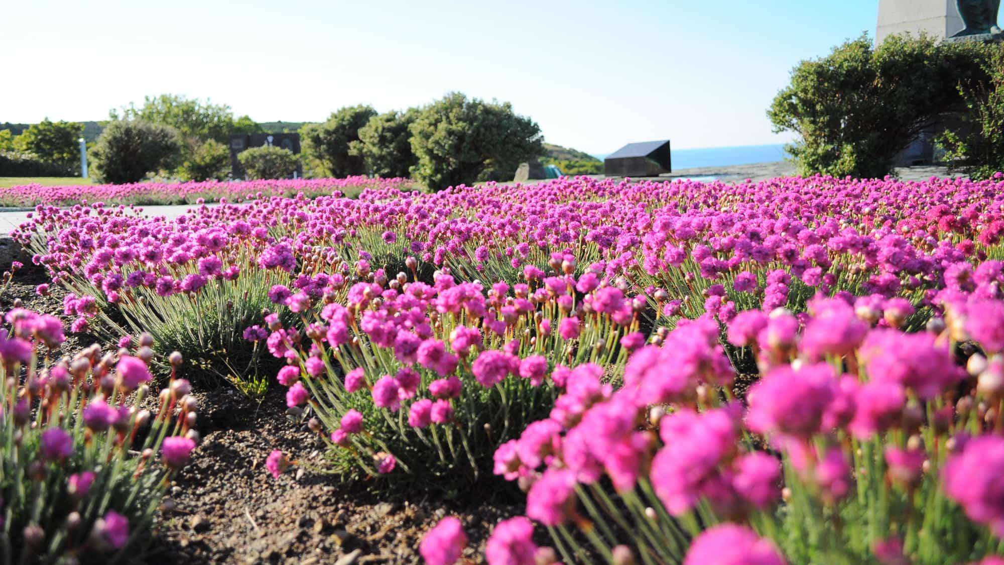 【稚内公園】6月〜7月には公園内にたくさんのアルメリアが開花します。
