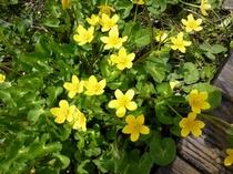 りゅうきんか。花言葉は「必ず来る幸福」湿地みずばしょうの群生地などで見れました。