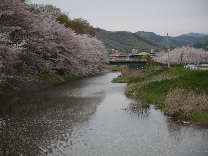 袋川沿いの桜