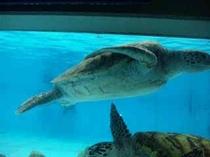 海洋博 海カメ