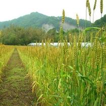 ふるさと農場 お米