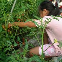 ふるさと農場 ミニトマト