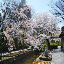枝川緑道公園の桜