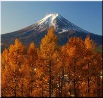 黄葉の落葉松と富士山
